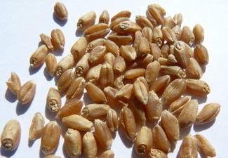 how to cook hard red wheat berries