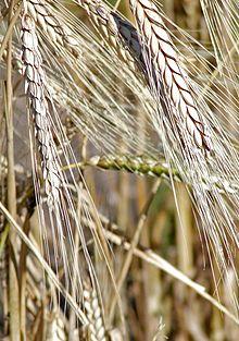 kamut wheat stalks